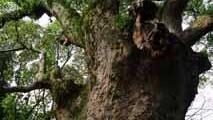 شجرة الجنية